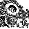 Rafflesias